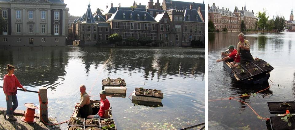 waterlelie Hofvijver, Den Haag, HelkantPlant