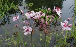 butomus umbellatus zwanebloem, Helkantplant