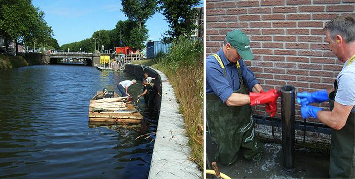 Den Haag natuurvriendelijke oever. Helkantplant