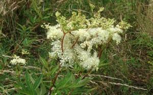 Filipendula ulmaria Moerasspirea, HelkantPlant