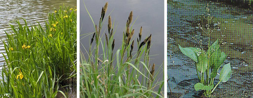 Iris pseudacorus, Carex riparia, Alisma plantago-aquatica, Helkantplant