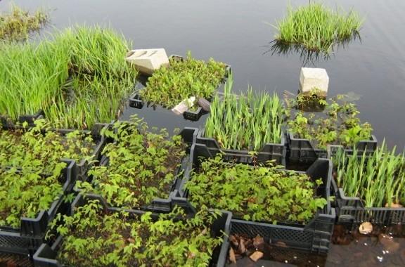 kwekerij diverse oeverplanten, waterplanten, drijvende planten, Helkantplant