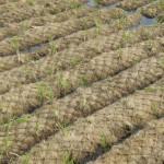 voorbeplante kokosrollen in kwekerij, HelkantPlant