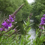 HelkantPlant, Lythrum salicaria Kattenstaart