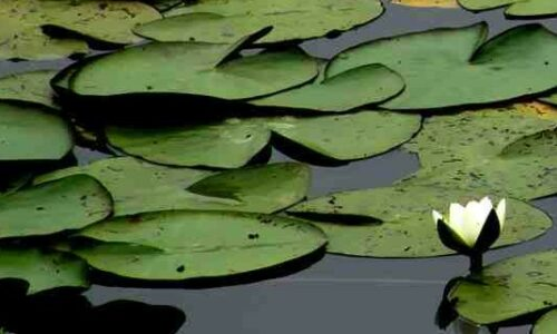 Nymphaea alba, drijvende plant, HelkantPlant