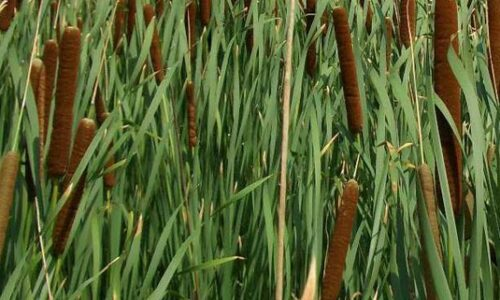 Typha angustifolia, oeverplant, helofyt, HelkantPlant