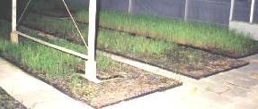 rietzaailingen, Helkantplant