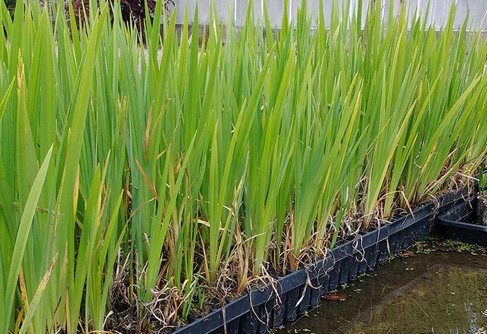 Iris op kwekerij