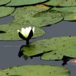 Nymphaea alba waterlelie