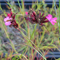 GroendakPlant_Dianthus carthusianorum
