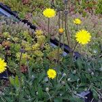 GroendakPlant_Hieracium pilosella