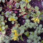 GroendakPlant_Sedum floriferum