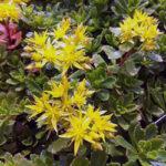 GroendakPlant_Sedum hybridum