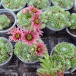 GroendakPlant_Sempervivum arachnoideum
